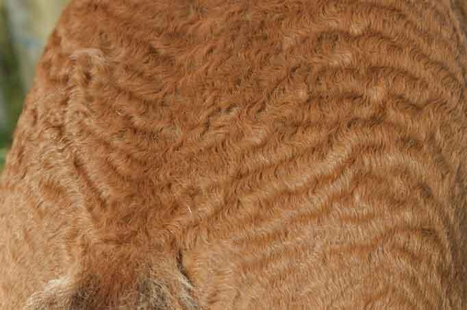 Curly Coat